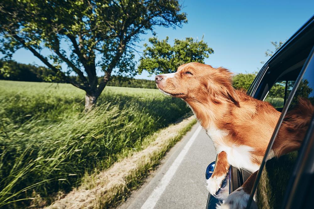Собака высовывается в окно авто